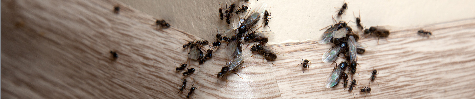 ant pest control and extermination