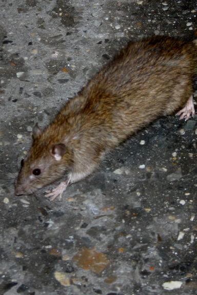 Rats, Mice & Voles