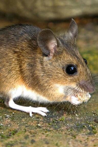 Rats, Mice & Voles pest control