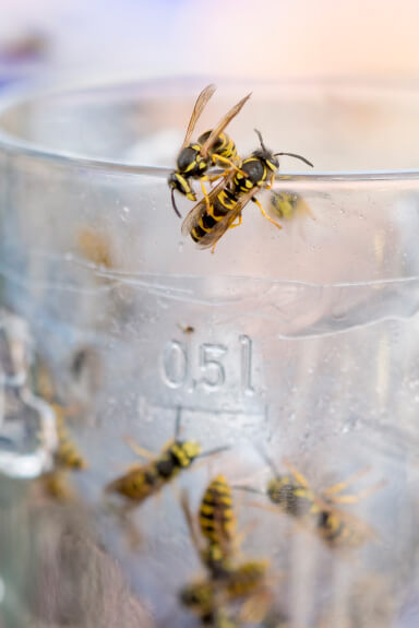 Wasps, Hornets & Bees