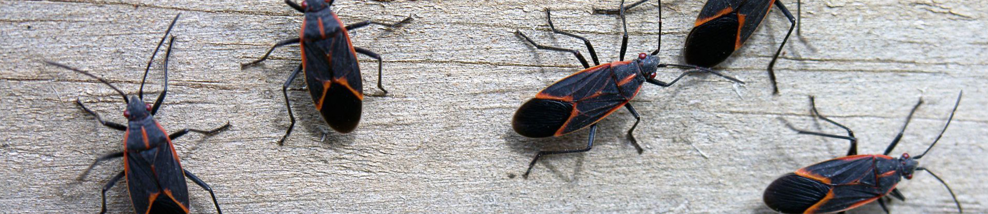 residential and commercial pest control for boxelder bugs