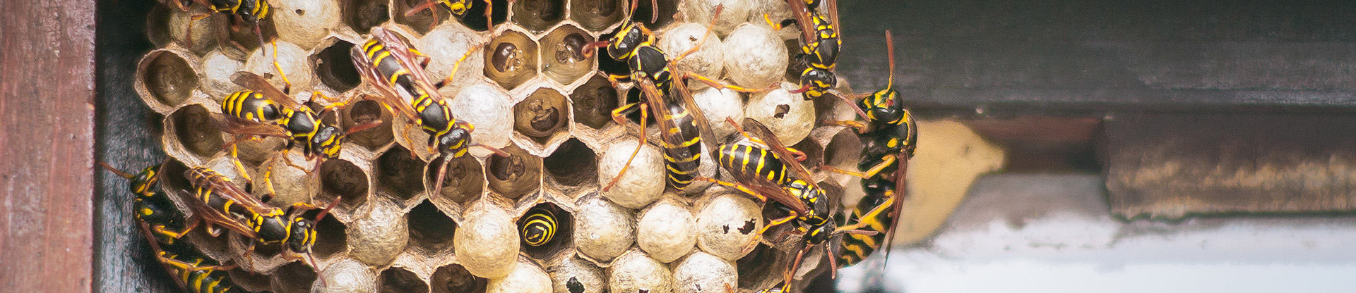 residential and commercial pest control for wasps