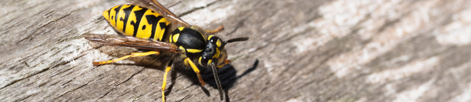 residential and commercial pest control for yellow jackets